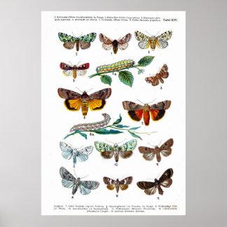 European Butterflies (Plate 14) Print