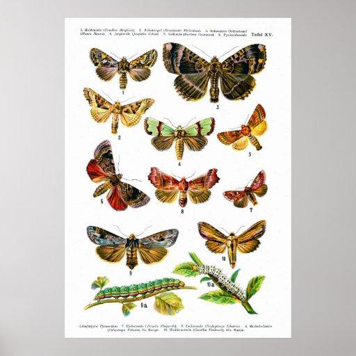 European Butterflies (Plate 15) Posters