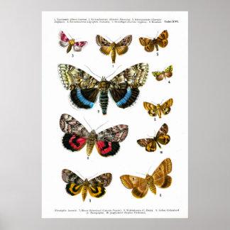 European Butterflies (Plate 16) Print