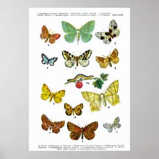 European Butterflies (Plate 17) Posters