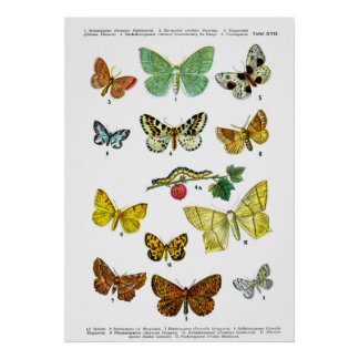 European Butterflies Plate 17 Posters