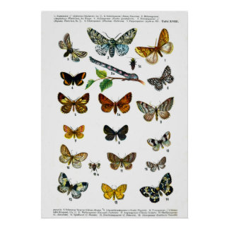 European Butterflies (Plate 18) Poster