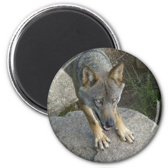 European grey wolf magnet