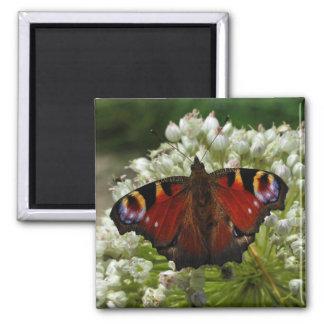 European peacock caterpillar butterfly magnet