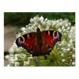 European peacock caterpillar butterfly postcard