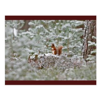 European Red Squirrel Postcard