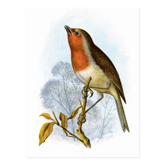 European Robin - Erithacus rubecula Postcard