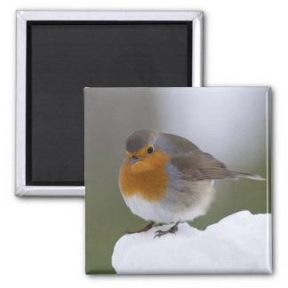 European Robin in snow magnet