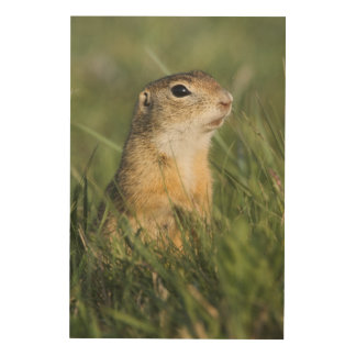 European Suslik, Spermophilus citellus, adult, Wood Wall Art