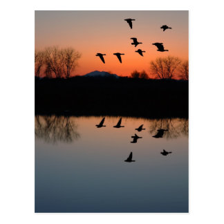 Evening Geese Postcard