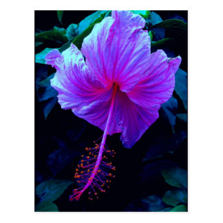 Evening Hibiscus Postcard