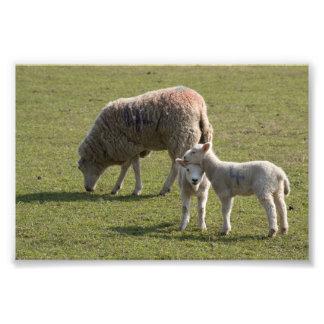 Ewe and Lambs Photo