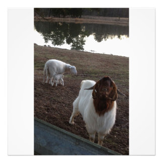 Ewe with twin lambs and billy goat photo