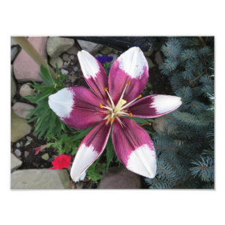 Exotic Lily Photo