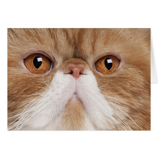 Exotic Shorthair (2,5 years old) Greeting Cards