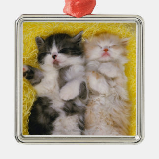Exotic Shorthair; is Breeders crossed the Silver-Colored Square Decoration