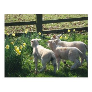 Exploring the Daffodils! three lambs on the run Postcard