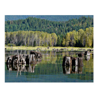 Exposed Tree Stumps on Lake Postcard