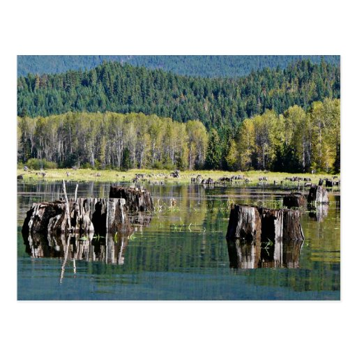 Exposed Tree Stumps on Lake Post Card