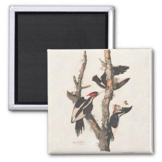 Extinct Birds: Audubon Ivory-Billed Woodpecker Magnet