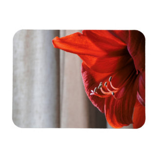 Eye-catching Red Lion Amaryllis Flower Rectangular Photo Magnet