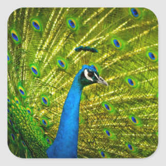 Eye-spotted Peacock Square Sticker