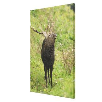Ezo Deer Canvas Print