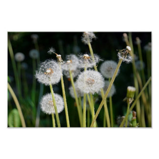 Faded dandelions poster