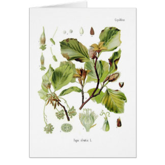 Fagus silvatica (Beech) Greeting Card