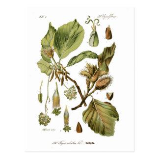 Fagus silvatica (Beech) Postcard