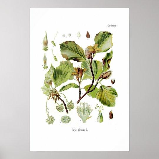 Fagus silvatica (Beech) Poster