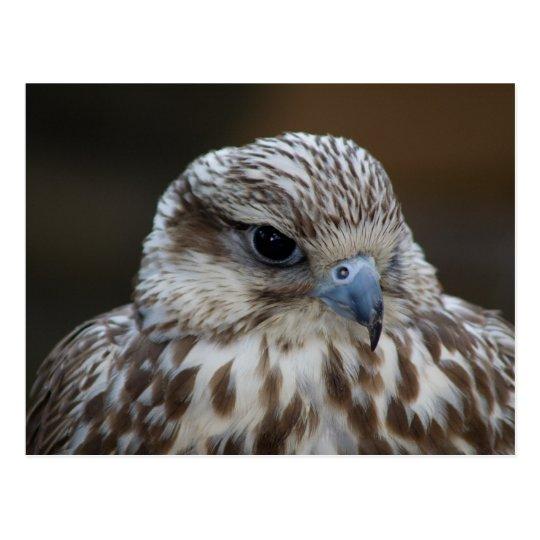 Falco cherrug Portrait Postcard