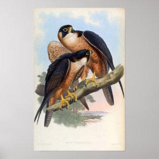 Falco Peregrinator (Shaheen Falcon) Poster