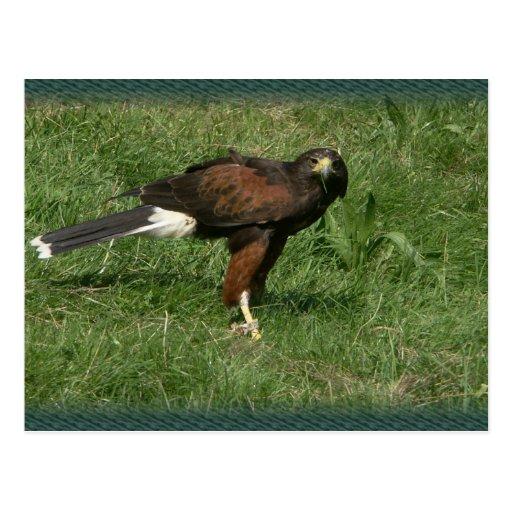 Falcon Post Card