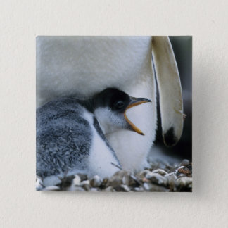 Falkland Islands. Gentoo penguin chick next to 15 Cm Square Badge