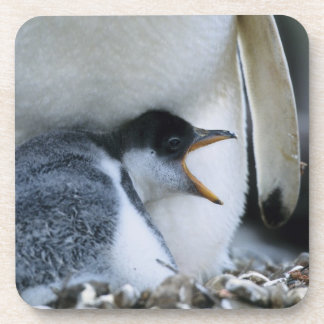 Falkland Islands. Gentoo penguin chick next to Coaster