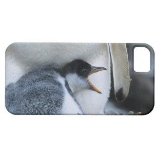 Falkland Islands. Gentoo penguin chick next to iPhone 5 Case