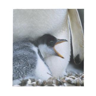 Falkland Islands. Gentoo penguin chick next to Notepad