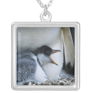 Falkland Islands. Gentoo penguin chick next to Silver Plated Necklace