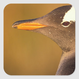 Falkland Islands. Gentoo Penguins. (Pyroscelis Square Sticker