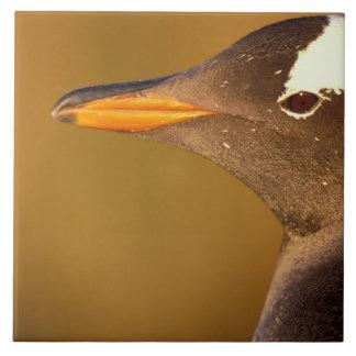 Falkland Islands. Gentoo Penguins. (Pyroscelis Tile