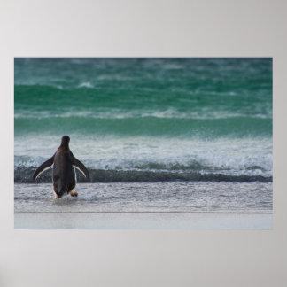 Falkland Islands. Saunders Island. Gentoo 1 Poster