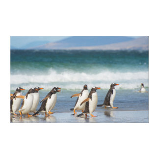 Falkland Islands. Saunders Island. Gentoo 4 Canvas Print