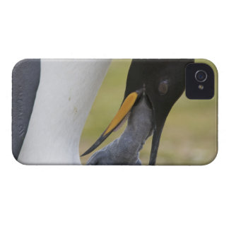 Falkland Islands, Volunteer Point. A king Case-Mate iPhone 4 Case