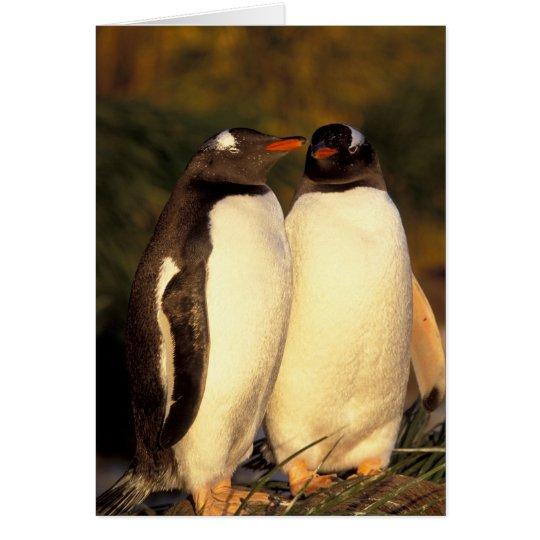 Falklands Islands. Gentoo Penguins. (Pyroscelis Card