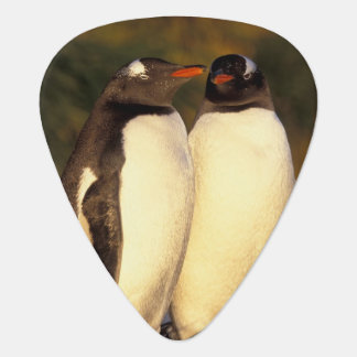 Falklands Islands. Gentoo Penguins.  (Pyroscelis Plectrum