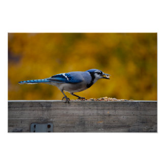 Fall Blue Jay Poster