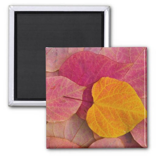 Fall color on Forest Pansy Redbud fallen Fridge Magnet