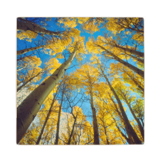 Fall colors of Aspen trees 2 Wood Coaster