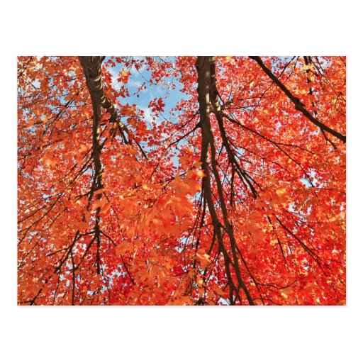 Fall Colors- Red Leaf Postcards